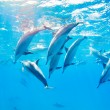Stock Photo: Dolphins swimming underwater