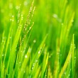 Grass and Morning Rain Drops — Stock Photo #10557798