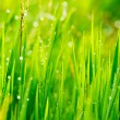 Grass and Morning Rain Drops — Stock Photo