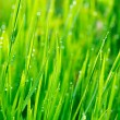 Grass and Morning Rain Drops - Stock Photo