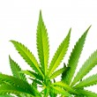 Marijuana Plant — Stock Photo