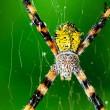Black and Yellow Garden Spider — Stock Photo