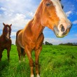 Horses in Green Field — Stock Photo