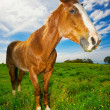 Horse in Green Field - Stock Photo