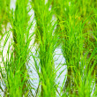 Rice Field in Asia — Stock Photo