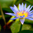 Water lilly in pond — Stock Photo #8473222