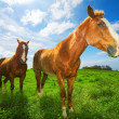 Horses in Green Field - Stock Photo