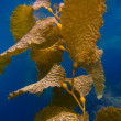 Kelp Underwater on Catalina Island - Stock Photo