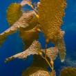 kelp onderwater op catalina island — Stockfoto