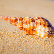 Royalty-Free Stock Photo: Shell on Exotic Beach