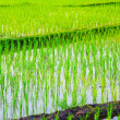 Rice Field in Asia — Stock Photo #8474887