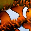 Clown fish in an anemone - Stock Photo