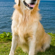 Golden retriever — Stock Photo #8474962