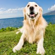 Golden Retriever — Stock Photo #8475001