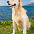 Golden Retriever — Stock Photo #8475002