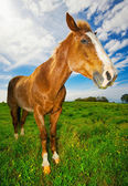 Horse in Green Field — Stock Photo