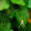 Stock Photo: Black and Yellow Spider
