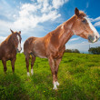 Horses in Field - Foto Stock