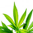 Stock Photo: MarijuanPlant