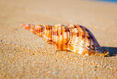Shell on Exotic Beach — Stock Photo