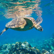 Green sea turtle swimming in ocean sea — Stock Photo #8545120