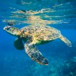 Green sea turtle swimming in ocean sea — Stock Photo #8545347