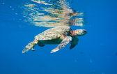 Green sea turtle swimming in ocean sea — Stock Photo