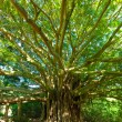 Tree of Life, Amazing Banyan Tree - Stock Photo