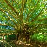 drzewo życia, niesamowite banyan drzewa — Zdjęcie stockowe