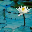 Water Lilly — Foto Stock #8551814