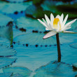 Water Lilly — Stock Photo #8551814