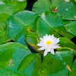 Foto de Stock  : Beautiful Water Lilly