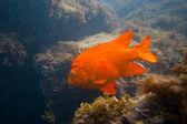 Garibald in Ocean in Southern California — Stock Photo