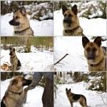 German Shepherd Dog — Stock Photo