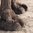 Stock Photo: Closeup of paws of camel