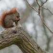 Squirrel eating a nut on tree branch — Stock Photo #8472381