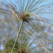 Cyperus papyrus plant of Egypt for paper — Stock Photo