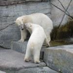 Eisbären zu kämpfen und Verhaltensweisen zu verteidigen — Stockfoto