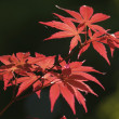Red leaves of ornamental Maple tree, Acer, under the sun — Stock Photo