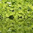 Royalty-Free Stock Photo: Reflections of large leaf plant on water surface of a pond