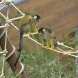 Stock Photo: Squirrel monkeys with offsprings