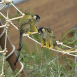 Squirrel monkeys with offsprings — Stock Photo