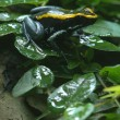 Black and yellow poisonous frog - Stock Photo