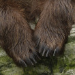 Male brown bear - Stock Photo