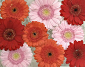 Pink, orange and red Gerber flowers in full bloom — Stock Photo