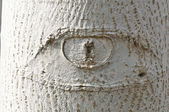 Eye-shaped knot on white tree bark — Stock Photo
