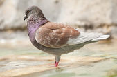 Brown pidgeon taking a bath in a fountain water — Stock Photo