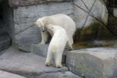 Polar bears on fighting and defending behaviours — Stock Photo
