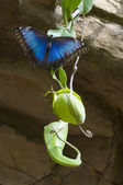 Papillon morpho bleu — Photo
