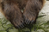 Male brown bear — Stock Photo